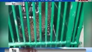 Una: Forest Department team has caught a Leopard in Naliya Mandvi Village