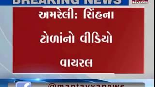 Amreli: Video Viral of Lion Group of Ambardi village | Mantavya News
