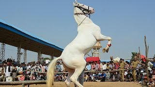 New Rajasthani Gurjar Rasiya | New Horse Dance | Vid Evolution Rajasthani