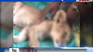 A Lion Cub found dead in Amreli | MantavyaNews