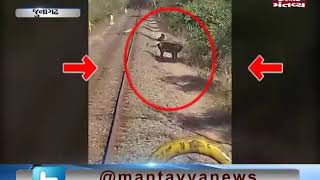 Junagadh: Train driver stops the Train to save Lion | Mantavya News