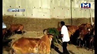 Amreli: Congress' Paresh Dhanani was seen feeding grass to cows