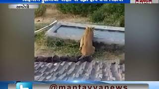 Video of thirsty lions goes viral - Mantavya News