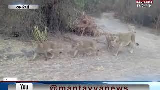 Amreli: Video of a Group of 22 Lions goes viral | Mantavya News