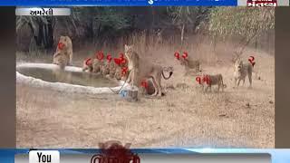 Amreli: Video of thirsty lions goes viral - Mantavya News