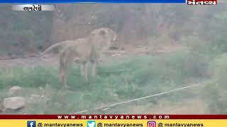 Amreli: A injured lion was seen near Raydi Dam, locals informed forest department