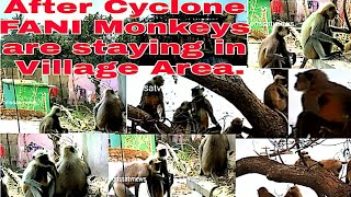 Monkeys are staying at Village Area after CYCLONE FANI. 2019.