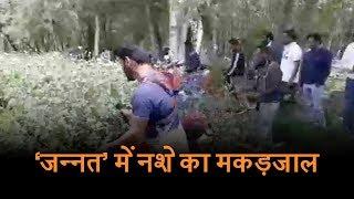 Pampore में 100 कनाल जमीन पर अफीम की खेती, प्रशासन ने तबाह की फसल