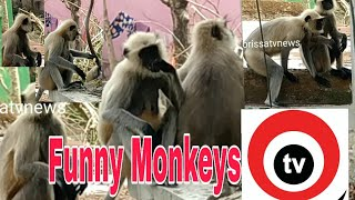 Funny Monkeys coming to My home regularly on particular time .
