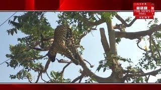करंट लगने से पेड़ पर चढ़े तेंदुए की मौत, तार पर झूला शव