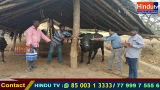 మామిడిపల్లి లో  250 నుండి 350 పశువులకు గొంతువాపు వ్యాధి రాకుండా టీకాలు