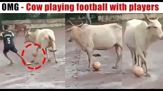 OMG - Cow playing football with players