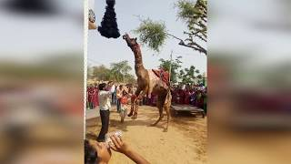 Rajasthani Camel Dance | Rajasthani DJ Gurjar Rasiya 2019 | बल्ली भालपुर का सुपर हिट रसिया