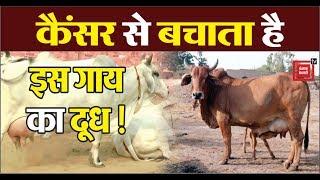देसी गाय विदेशी गायों पर भारी: वल्लभभाई कथीरिया