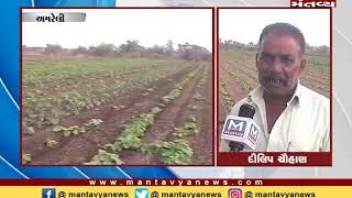 Amreli: વરસાદ ખેંચાતા ધરતીપુત્રો ચિંતમાં - Mantavya News