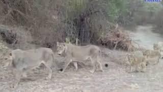 Keshod | twenty-plus number of Lion's  Video Social media gets viral| ABTAK MEDIA