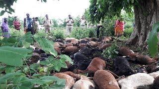 आकाशीय बिजली गिरने से 62 बकरियों की मौत। akashiya bijli girne se 62 vyaktiyo ki mot. #bn