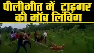 Up के PiliBheet में इंसान बने हैवान....बाघिन को पीट-पीट कर मौत के घाट उतारा ।
