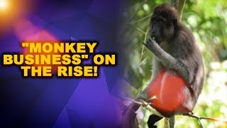 """""""Monkey Business"""" on the rise, Farmers succumb to losses"""
