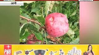 आनी : बेमौसम हुई बारिश से सेब के खेतों को भारी नुकसान