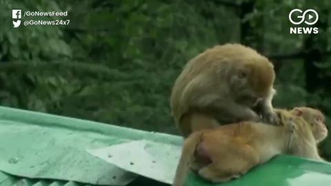 बंदरों के आतंक से परेशान हैं किसान, मारने पर सरकार दे रही है एक हज़ार का इनाम