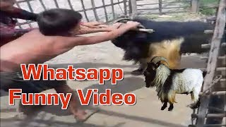 Very Funny Video With Goat And Child || Comedy Video 2017 || Comedy In Dehat