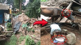 Cow Shed Collapse Injures Livestock, One loses horn; Vet awaited