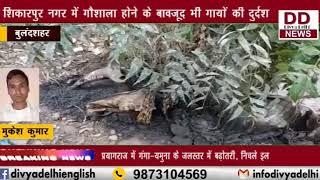 शिकारपुर नगर में गौशाला होने के बावजूद भी गायों की दुर्दशा || DIVYA DELHI NEWS