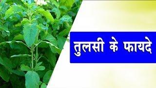तुलसी के फायदे | जाने तुलसी के पेड़ से क्या फायदा है | Rays Rahashya