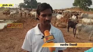 गोठानों में सुरक्षित नहीं हैं गाय cglivenews