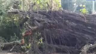 Mangrol | A large tree on Kamnath road | ABTAK MEDIA