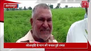 ओलावृष्टि ने आरएसपुरा में किसानों की तोड़ी कमर, धान की फसल हुई तबाह