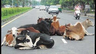 Ponda Taluka Try To Drive Away Stray Cattle