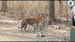 पर्यटकों की गाड़ी के सामने आ गया शेर | Kanha National Park Madhya Pradesh | Kanha Tiger Reserve