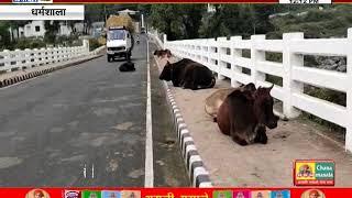 #DHARAMSHALA : इन्वेस्टर्स मीट के दौरान शहर में नहीं दिखेंगे आवारा पशु