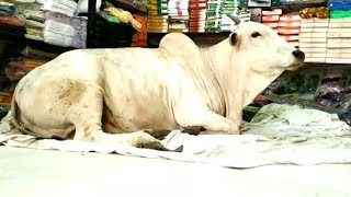 Cow Sleeping in Bed | Telugu Viral Videos | Cow Sleeping in Shop Video | Kadapa | AP | Top Telugu TV