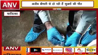 पिग फार्मरस को बड़ा झटका  || ANV NEWS FAZILKA - PUNJAB