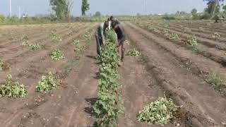 Dhoraji | Cotton crop spoiled by poor rainfall| ABTAK MEDIA