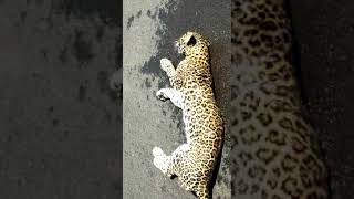 Leopard Killed In Collision With Unidentified Vehicle!