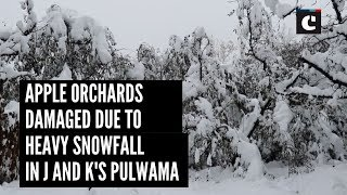 Apple orchards damaged due to heavy snowfall in J&Ks Pulwama