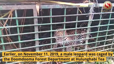 Leopard caged at Hulunghabi Tea Estate