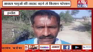 आवारा पशुओं की तादाद बढ़ने से किसान परेशान    ANV NEWS HIMACHAL