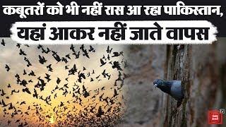 पाकिस्तानी कबूतरों को हुई भारत से मोहब्बत, यहां आकर नहीं जाना चाहते वापस