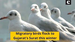 Migratory birds flock to Gujarat's Surat this winter