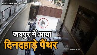 जयपुर में 2 दिन से पैंथर की दहशत का अंत, 19 घंटे बाद ट्रेंकुलाइज कर पिंजरे में किया बंद