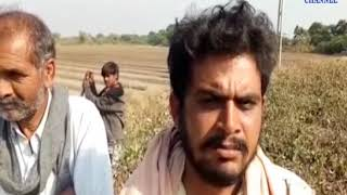 Padadhri | Farmers' cotton crops failed due to torture of pink yellows | ABTAK MEDIA