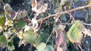 Dhoraji | Farmers are worried about the torture of pink yellows in cotton| ABTAK MEDIA