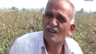 Dhoraji | Pink cotton infestation in cotton crop | ABTAK MEDIA