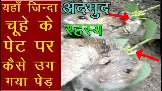 Mystery | यहाँ जिन्दा चूहे के पेट पर कैसे उग गया पेड़ | News Remind