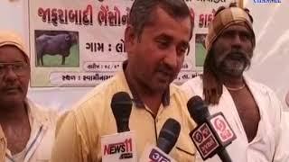 Mangrol- : Jangarabadi buffalo breed improvement program organized by Mangrol-Krishi University